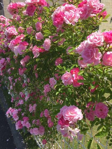 170520近所のバラ.jpg