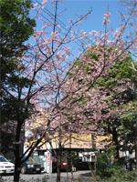 寒桜(かんざくら)