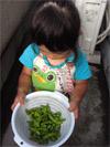 由依 枝豆の収穫