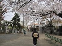 桜と七五三