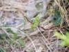 アゲハ蝶の幼虫2014