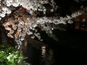 白川沿いの桜1