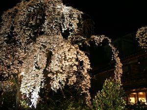 白川沿いの桜2