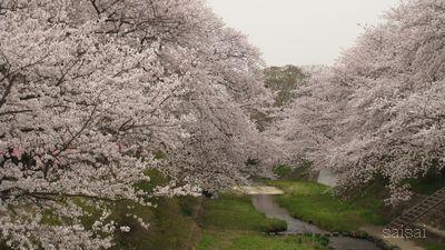 玉川 桜まつり
