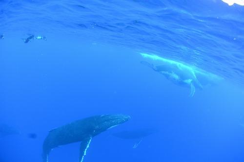 クジラスイム トンガ