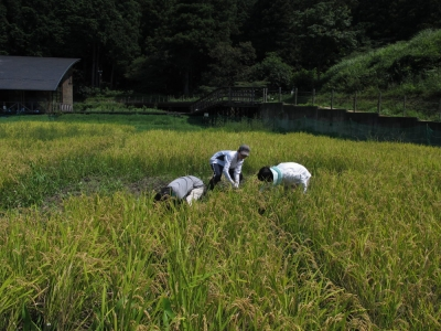 ミニ田んぼ稲刈り