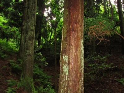 木を登るアオダイショウ