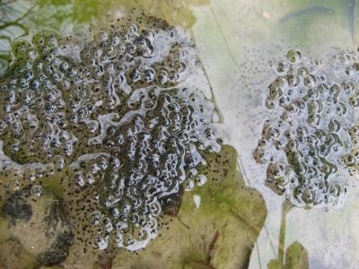 ヤマアカガエルの卵塊