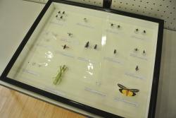 野一色さんが報告した昆虫の標本
