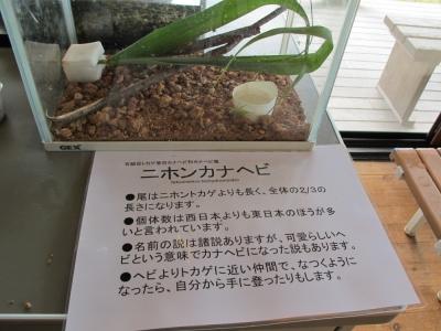 生き物展示〜ニホンカナヘビ