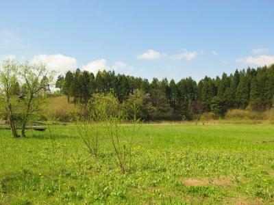 咲き始めたサワオグルマ