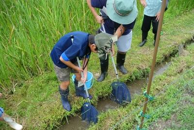 網を使って水路の魚をすくい取り、観察
