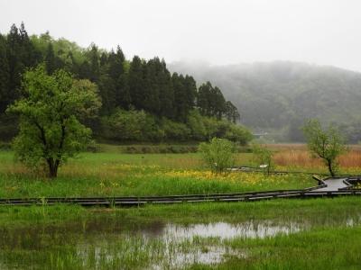 雨の中のサワオグルマ