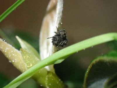 マメイタイセキグモ