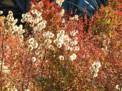 オオニガナの実とミソハギの草紅葉