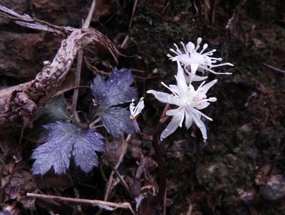 オウレンの花