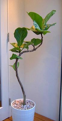 かしわばゴムの木