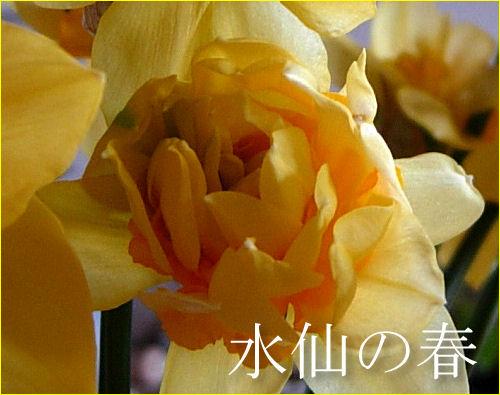 水仙の春1