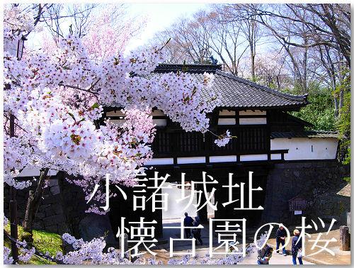 懐古園の桜、満開です