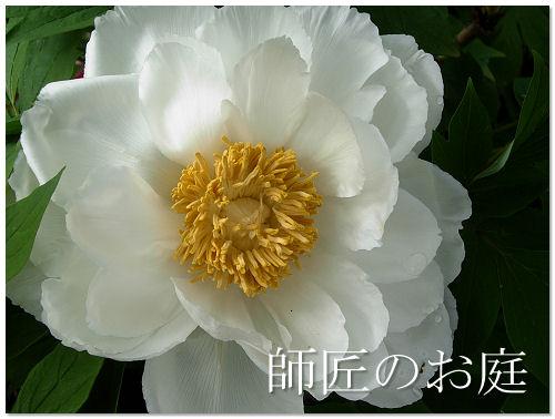師匠の庭〜牡丹