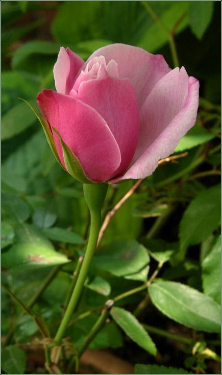 今年も薔薇が咲きました