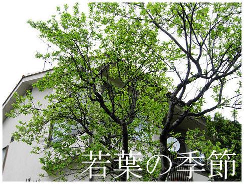 若葉の頃ろのプルーンの木