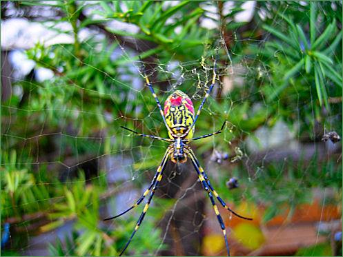 美しい蜘蛛