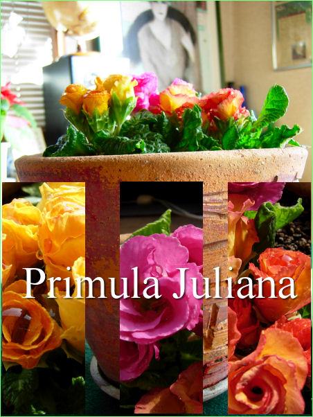 プリムラ・ジュリアン1