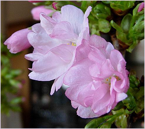 山桜咲く1