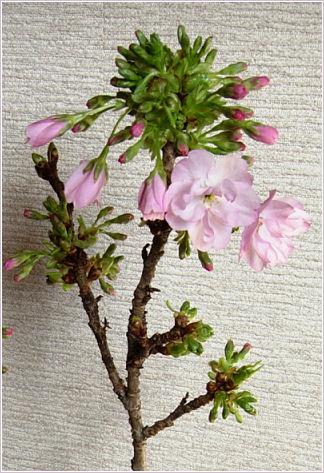 山桜咲く2