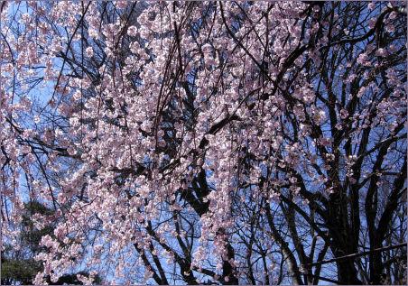懐古園の桜1