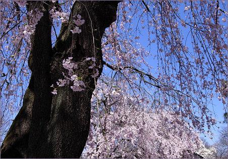 懐古園の桜2