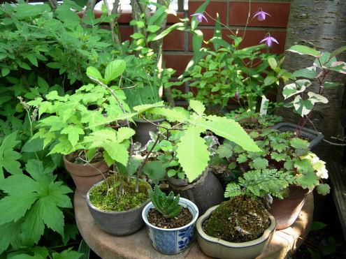 山野草のミニ盆栽