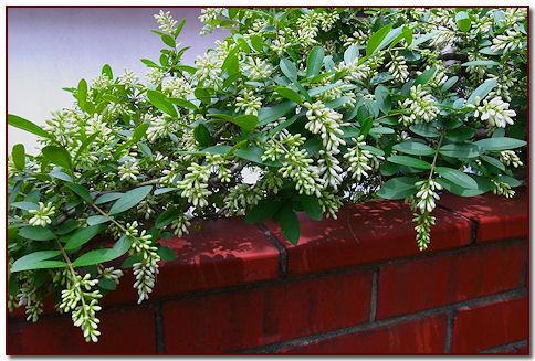 西側の庭に咲く茶花の一種と聴いておりますが、白い房のうな花を付け今が盛りとばかりに咲いています。