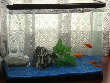金魚の水槽です