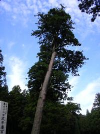 伊勢神宮の木