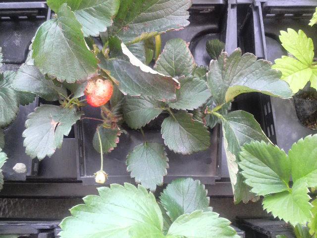 壁のイチゴ
