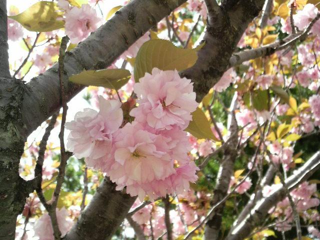 船上山の八重桜