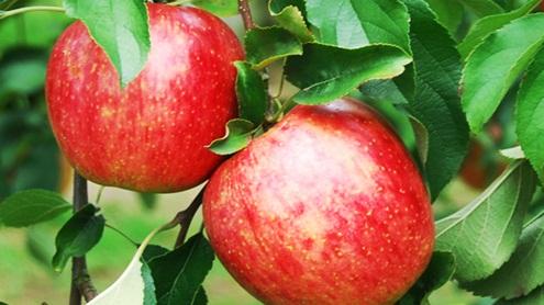 中里レジャーりんご狩り2.jpg