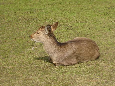 また鹿さん