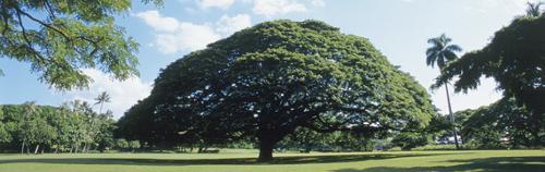 ハワイの噂・裏技・裏話_日立の樹