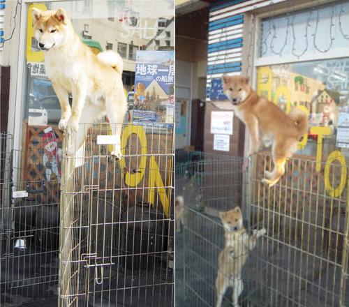 動物の噂・裏技・裏話_忍者犬のトビオ