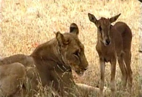 動物の噂・裏技・裏話_草食動物を育てるライオン