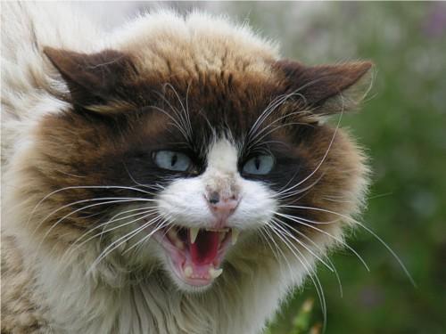 心理学の噂・裏技・裏話_怒る猫