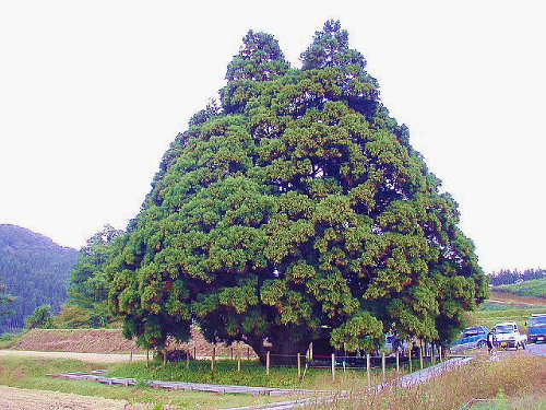 漫画・アニメ・キャラクターの噂・裏技・裏話_山形県にあるトトロの木(小杉の大杉)