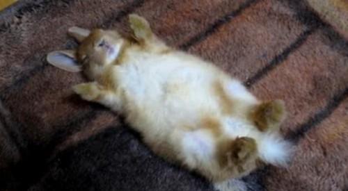 動物の噂・裏技・裏話_お手上げ状態で寝るウサギ