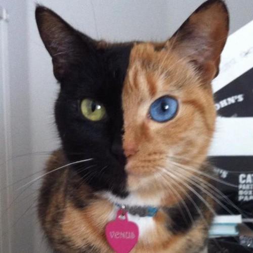 動物の噂・裏技・裏話_2つの顔を持った猫のビーナス