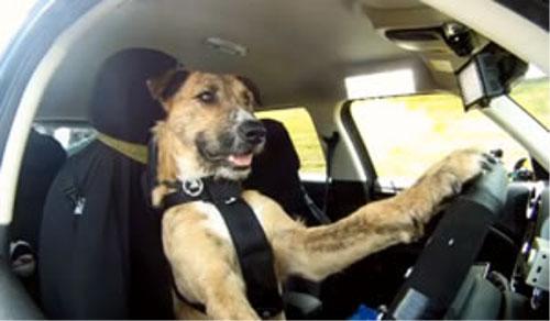 動物の噂・裏技・裏話_車を運転する犬がいる