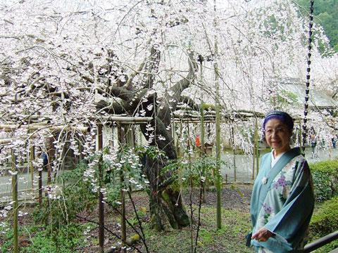 京都毘沙門堂の枝垂桜