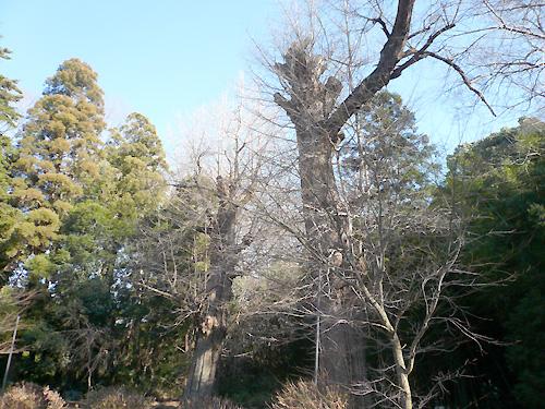 葺不合神社内銀杏の大木